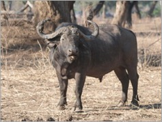 Buffalo, Mana Pools