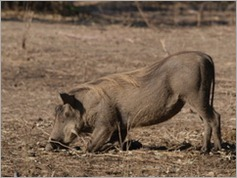 Warthog, Mana Pools