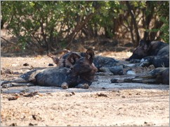 Wild dog, Mana Pools