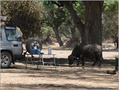 Buffalo in Nyamepi Camp, Mana Pools