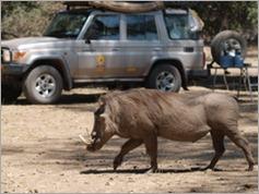 Warthog in Nyamepi Camp, Mana Pools