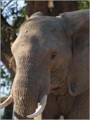 Elephant in Nyamepi Camp, Mana Pools