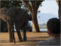 Elephant in Nyamepi Camp, Mana Pools