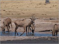 Roan, Ngweshia waterhole, Hwange National Park