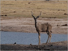 Kudu, Ngweshia waterhole, Hwange National Park