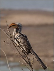 Yellow-billed Hornbill, Detema Dam, Hwange National Park