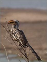 Yellow-billed Hornbill, Detema Dam, Hwange National Park