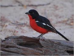Crimson breasted shrike, galagadi Transfrontier Park