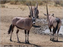 Gemsbok, Kgalagadi Transfrontier Park