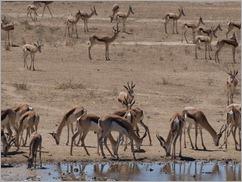 Springbok, Kgalagadi Transfrontier Park