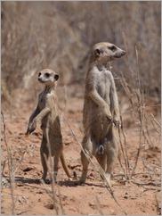 Meerkat, Kgalagadi Transfrontier Park